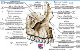 Строение верхней и нижней челюсти